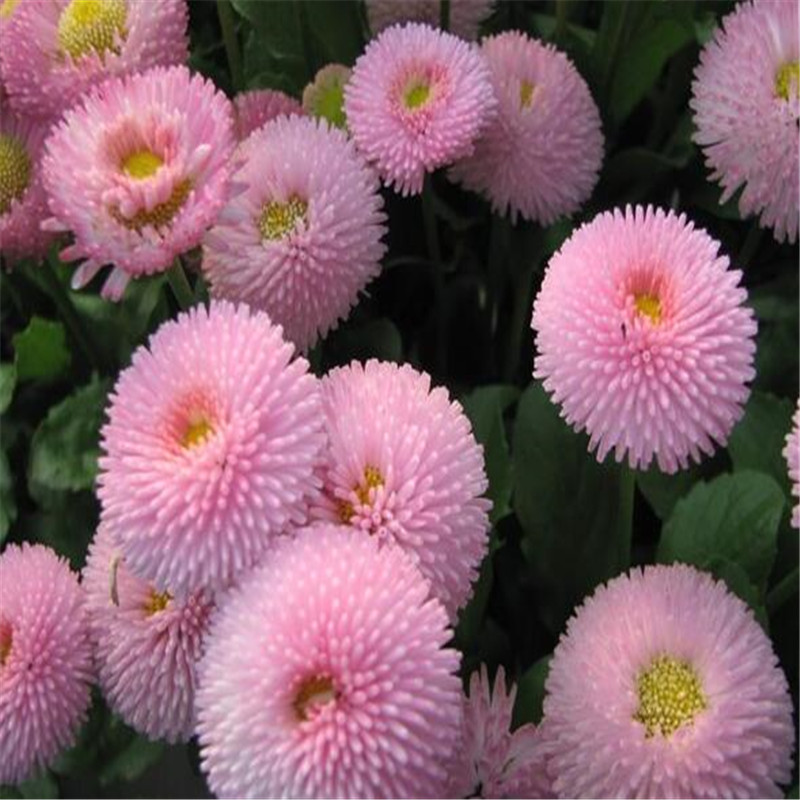 50seeds potted flowers pink lady daisy seeds balcony bonsai plant 50seeds potted flowers pink lady daisy seeds balcony bonsai plant for garden home easy to grow in bonsai from home garden on aliexpress alibaba mightylinksfo
