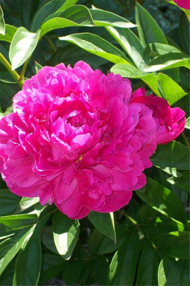 Image 5 - 10Pcs  Rare Bonsai Peony Tree Perennial Garden Flower Bonsais Potted Plants