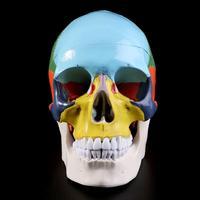 Colorful Human Skull Model Anatomical Anatomy Medical Skeleton Head Teaching Supplies