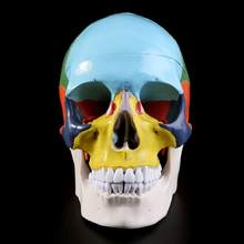 Colorful Human Skull Model Anatomical Anatomy Medical Skeleton Head Teaching Supplies(China)