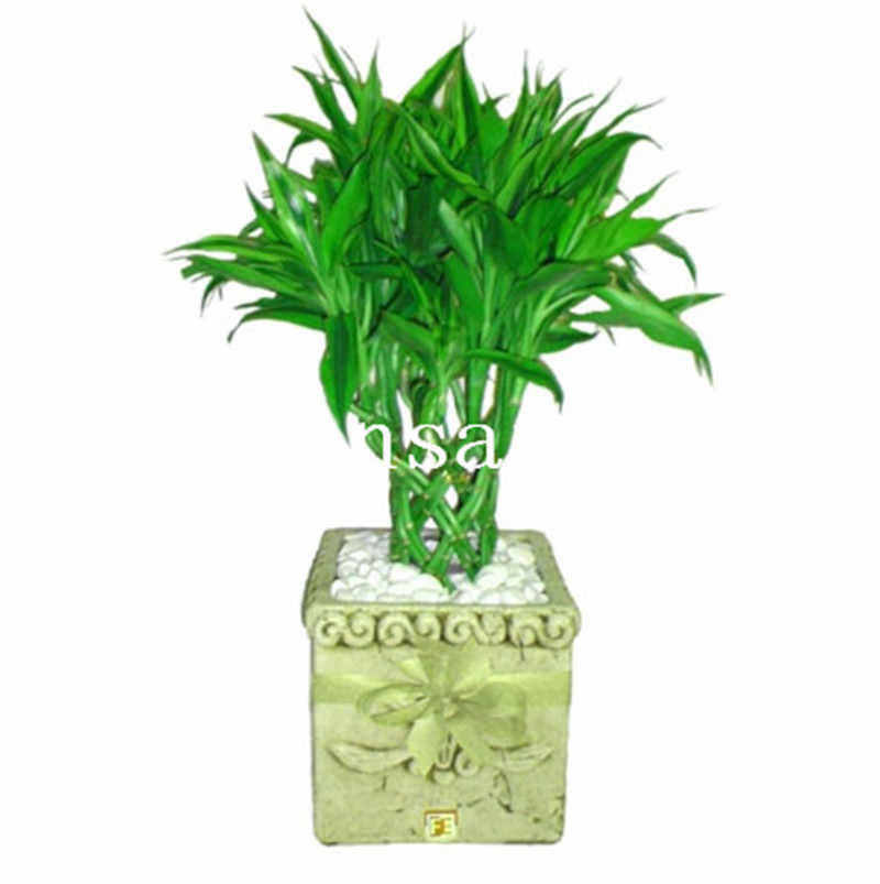 50 Pcs Bonsai Bamboo Plant Outdoor Potted Plants Bambusa Lako Tree For Garden Radiation Absorption
