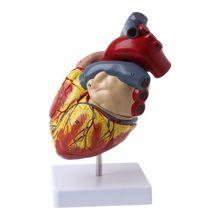 Разобранная анатомическая модель сердца человека анатомия медицинская вязка органов медицинский обучающий инструмент