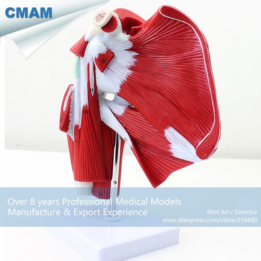 No. 12037 , Shoulder Muscle - 1 parts, Model of Shoulder with Deep Muscle Anatomy, CMAM china medical anatomical models herbal muscle