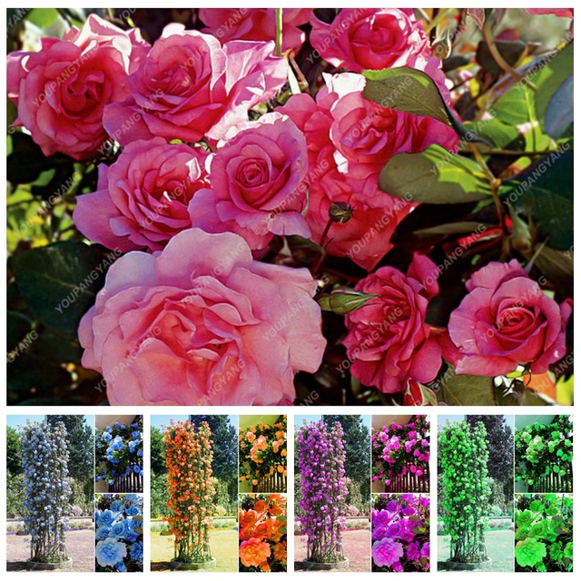 50 pcs climbing roses bonsai climbing plants chinese flower bonsai 50 pcs climbing roses bonsai climbing plants chinese flower bonsai rose rosa perennial flowers plant mightylinksfo