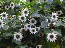 Very Rare White Sunflower Tree Seeds – Rojasianthe Superba Seeds, Fresh Rare Plant Seeds Packet
