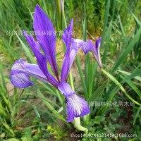 fresh cut flower plant flower plant Malan authentic iris flower lotus plant horse assurance 200g / Pack