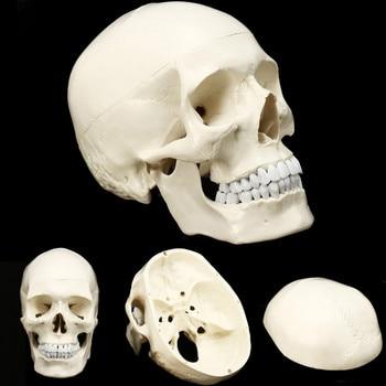 ขนาดชีวิตมนุษย์กายวิภาคศาสตร์กายวิภาคศาสตร์เรซิ่นโครงกระดูก Skull การสอนชุดอุปกรณ์โรงเรียน