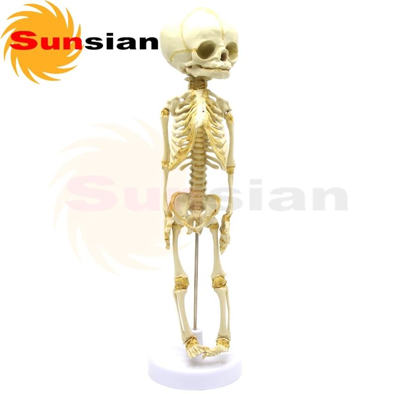 The model of fetus skeleton-30 weeks  Fetus skeleton model ,human skeleton anatomical  model