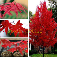 20 pcs/BAG american red maple seeds tree seeds maple for home GARDEN planting easy grow very rare tree seeds