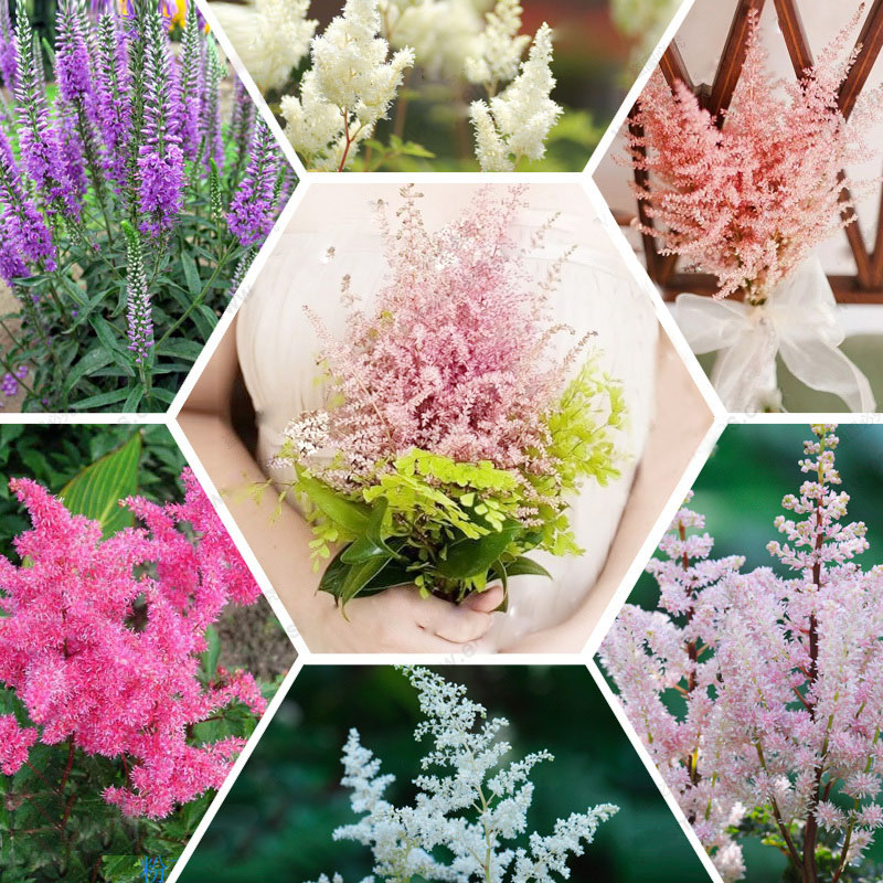 Hot Sale 6 Color Available Categories Astilbe Chinensis Seeds Balcony Garden Potted Chinese Astilbe Flower Seeds 120PCS
