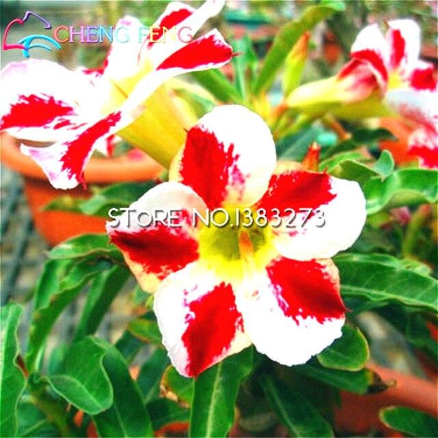100 Samen Oleander Topf Pflanzen Nerium Blume Pflanzen Einfach Wachsen  Samen Im Freien Garten Dekoration Flores