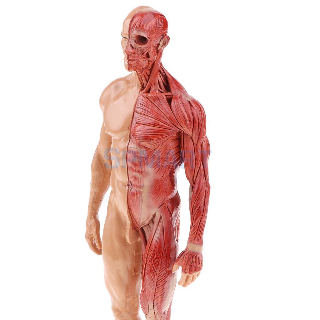 11 Inch Male Female Anatomy Figure Superficial Muscle Anatomy