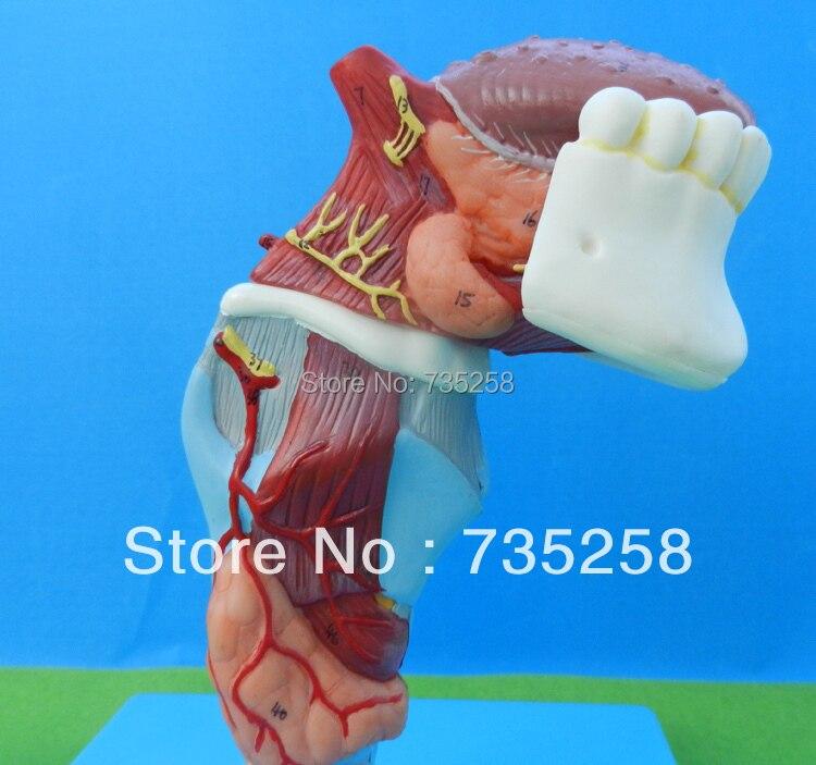 ᗑ】Laringe con toungue y los dientes, la lengua garganta modelo - a528