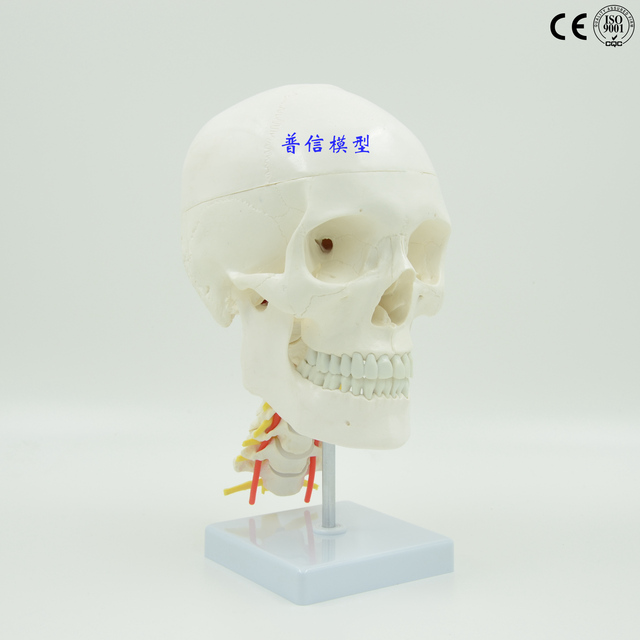Free Shipping11 Natural Large Skull Model With Cervical Spine