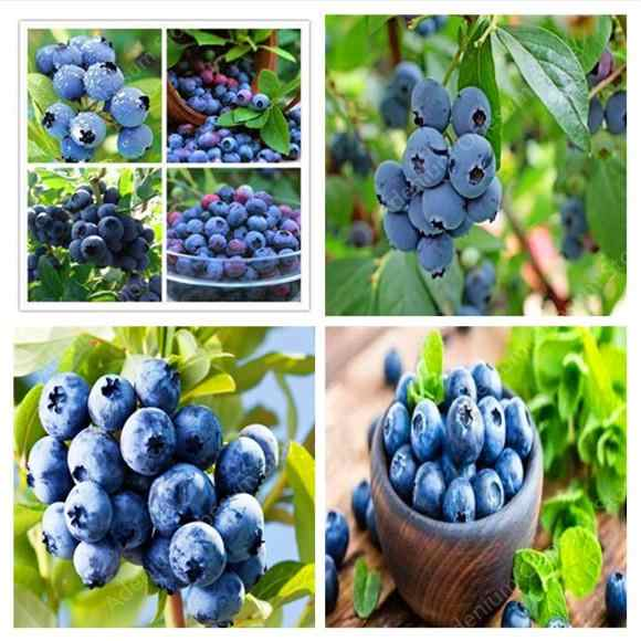 100pcs BlueBerry Bonsai Fruit Outdoor Tree Highbush Blueberries DIY Countyard Plants for Home & Garden Easy to Grow free ship
