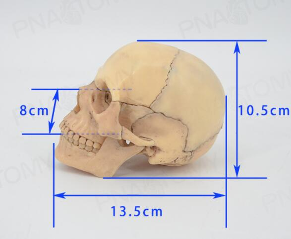 Primary color skull model medical dental clinic teaching equipment detachable 15 parts skull model 13.5*8*10.5cmPrimary color skull model medical dental clinic teaching equipment detachable 15 parts skull model 13.5*8*10.5cm