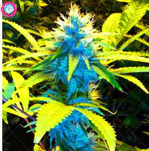 100 Pcs Hemp Seeds,Medicine hemp Seeds Drying Green Tea To Weak Early Intestinal Constipation,Bonsai Pot Plant