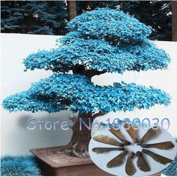 Rare American Blue Maple Seeds 50pcs