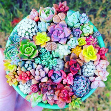 100PCS Mixed Beauty Succulents Bonsai Plant Easy To Grow Mini Potted Flower Plants For Home Garden