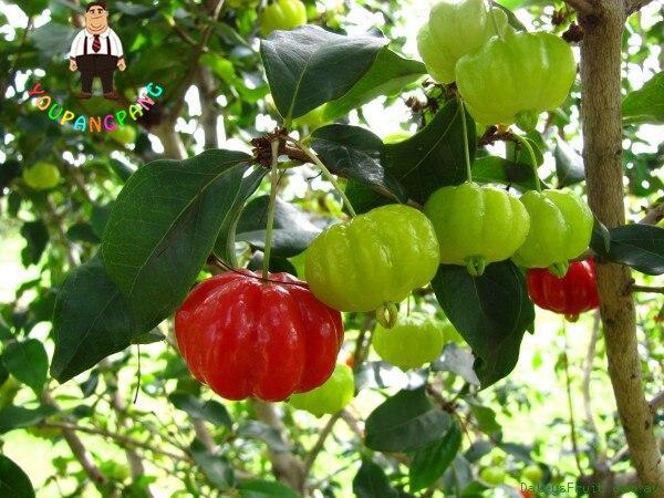 10 pz Suriname di Ciliegio bonsai Pitanga piante di Frutta Brasiliana Cherry Red Rare di Impianto Per Il Giardino di Casa Frutta Biologica
