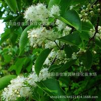 forest plant alias sandalwood tree plant real shot 200g / Pack
