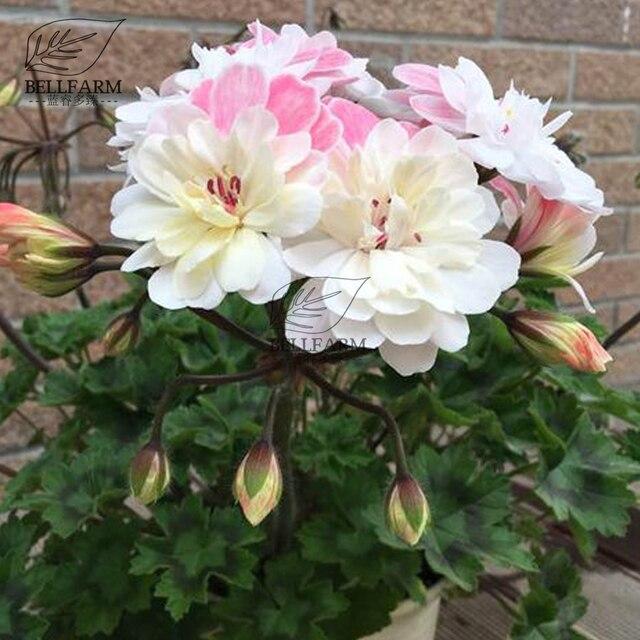 Aliexpress.com : Buy BELLFARM Bonsai Geranium \' A Helenium\' White ...