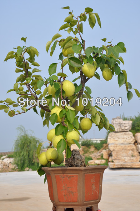 Royal tribute pear seeds  1 pack of 10 seeds  fruits huge  beautiful mini. Compare Prices on Huge Garden Pots  Online Shopping Buy Low Price