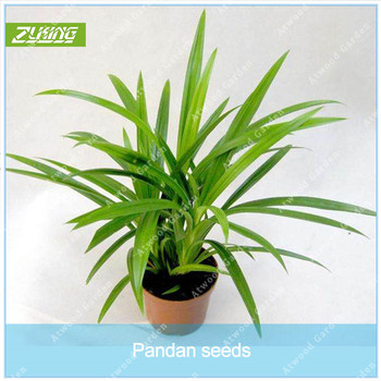 ZLKING 50 Seeds/Pack Annual Pandan Flower Potted Seeds Fragrant Spices DIY Home Garden Bonsai Plant Seeds