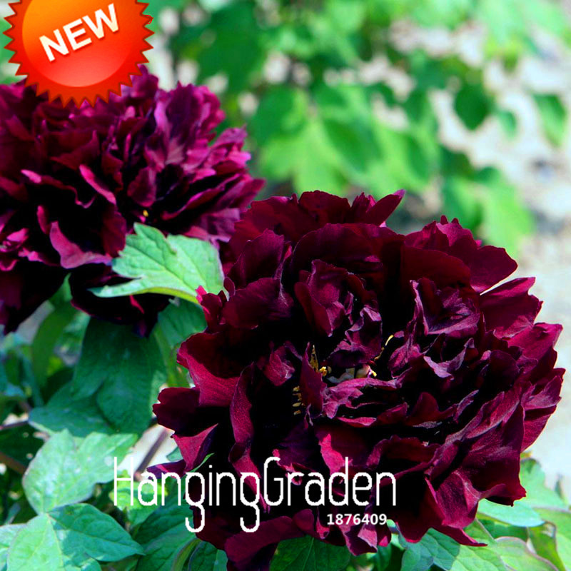 Time-Limit!!Chinese Peony Seeds Black Purple Peony Flower Potted Bonsai Plant Seed 10 Pieces / Bag,#P8GJBR