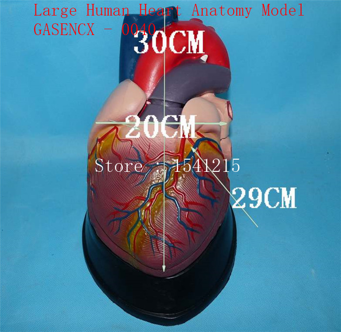Heart model Teaching medical human body specimen model Large Human Heart Anatomy Model - GASENCX - 0040