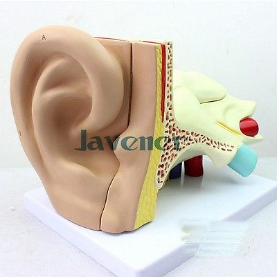 Simulation Human Anatomical Ear Anatomy Medical Model Auditory System Organ