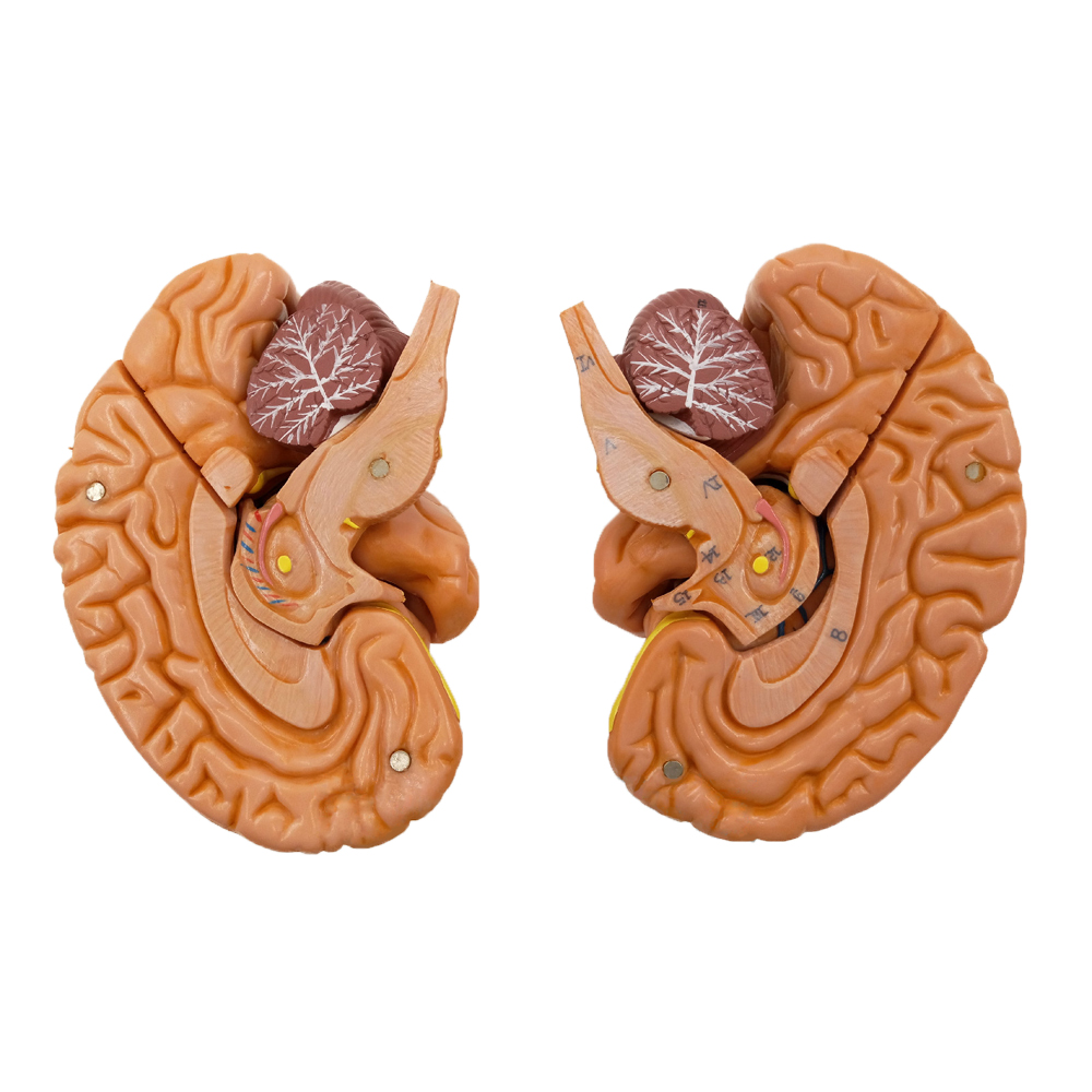 Aliexpress.com : Buy 1:1 Life Size Brain Anatomical Model,Human ...