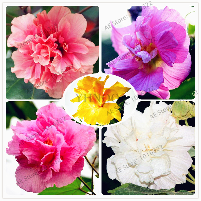 50pcs/bag Hibiscus Mutabilis Flower Bonsai,multiple Color,Housing Pot Garden Or Backyard Flower Plant Free Shipping