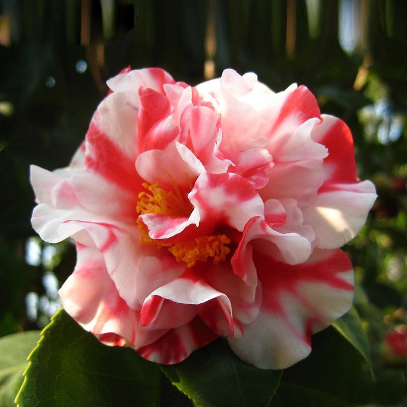 Rare White Red Camellia Seeds Potted Plants Roof Terrace Garden Flower Seeds Potted Bonsai