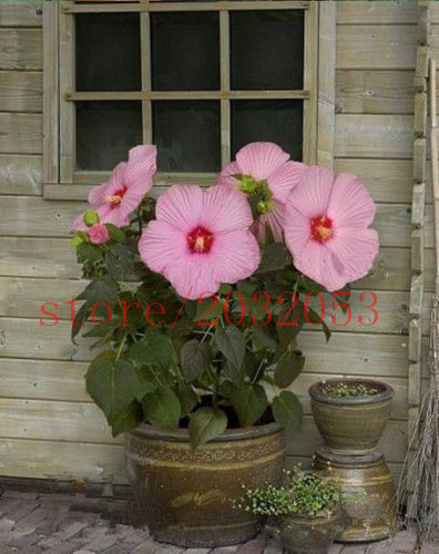 100 Pcs Hibiscus Seeds Giant Hibiscus Flower Seeds For Garden Home Perennial Potted Plants