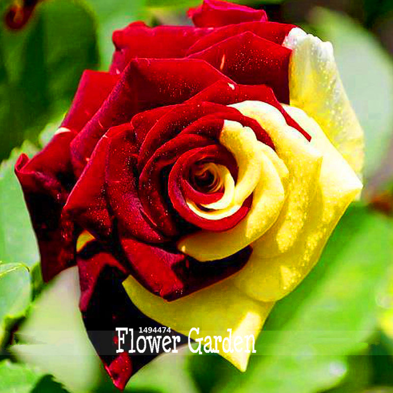 Loss Promotion!approx 50 Pieces / Bag, Rare Amazingly Beautiful 2 Colored Red Yellow Rose Flower Seed,#051N9R