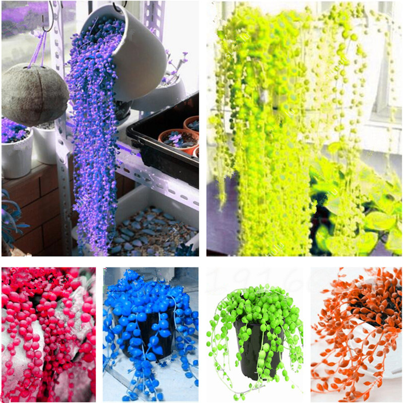 Hot Sale 50 Pcs/Bag Hanging Pearl Chlorophytum Seeds, Beads Gardening Bonsai, Indoor Air Purification Home Garden Succulents