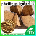 Immunity Enhancing Mushroom phellinus igniarius extract 0# capsule 500mg *100pcs