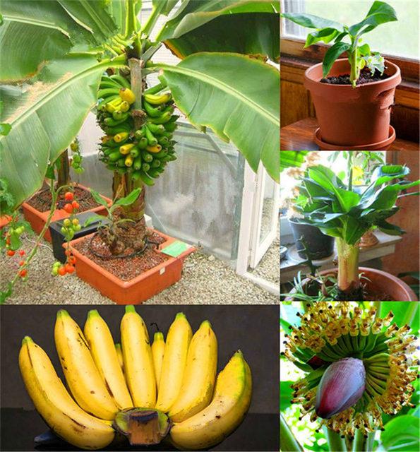 Banana Seeds, 200pcs/pack