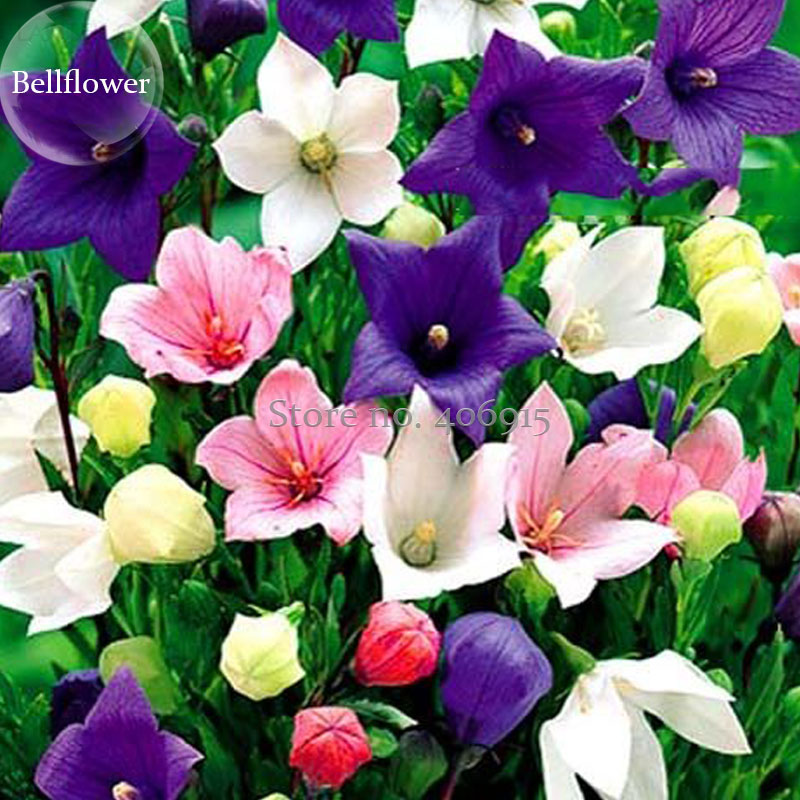 Rare mixed colorful pink white purple red campanula bellflowers 50 rare mixed colorful pink white purple red campanula bellflowers 50 seeds fragrant dazzling flowers light up garden e3691 in bonsai from home garden on mightylinksfo