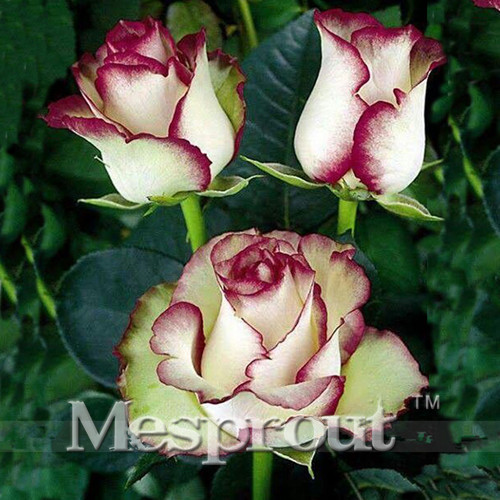 Time limit 100 particles a large collection of all kinds of rare 100 particles a large collection of all kinds of rare rose seeds perennial flowers 14 varieties of roses me007 in bonsai from home garden on mightylinksfo