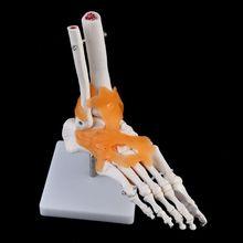 1: 1 esqueleto humano modelo humano comum anatomia médica tornozelo ligamento anatomicamente ferramenta de ensino recurso