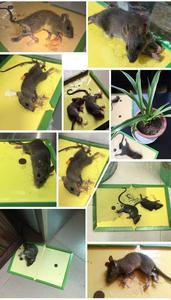 Image 5 - 5 PCS 마우스 보드 끈적 끈적한 마우스 접착제 트랩 높은 효과적인 설치류 쥐 뱀 버그 포수 해충 방제 비 독성 환경 친화적 인 거부