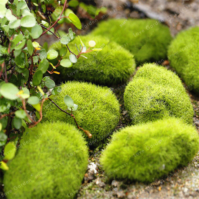 100 Pcs/Bag Moss Seeds Moss Ball Sagina Subulata Seeds Outdoor Grass Seeds Garden Decorative Plant DIY For Home Garden