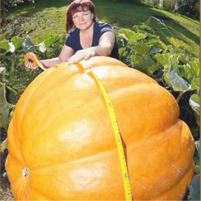 20 ชิ้น Super ขนาดใหญ่ฟักทองผัก NON-GMO เอดดัลไวส์สีเหลืองสควอช DIY Bonsai ฮาโลวีนสนุกพืชสำหรับปลูกบ้านสวน