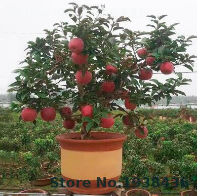 30pcs Dwarf Apple Bonsai Sweet Organic Fruit Vegetable Bonsai Indoor Or Outdoor  Home And Garden Succulents Plants