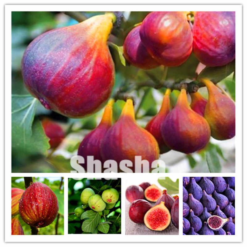 100 ชิ้นหวานน้ำผึ้ง FIG bonsai - มีกลิ่นหอม - King Figs Courtyard & ระเบียงพืชกลางแจ้ง Fig Tree bonsai plant หายากผลไม้ต้นไม้