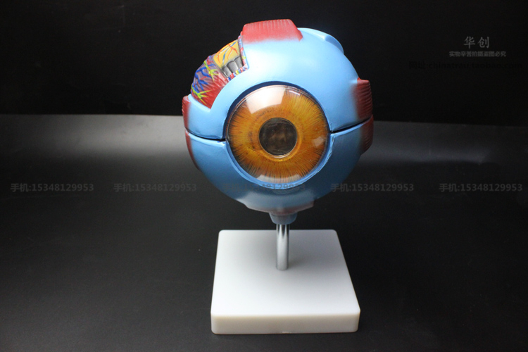 Sale 6times For The Eyeball Anatomy Model Of Biological Science