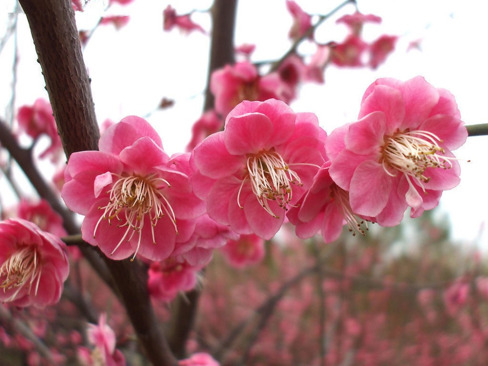 New Home Garden Plant 5 Seeds Japanese Apricot Chinese Plum Blossom Prunus Mume Wintersweet Flower Tree Seeds Free Shipping