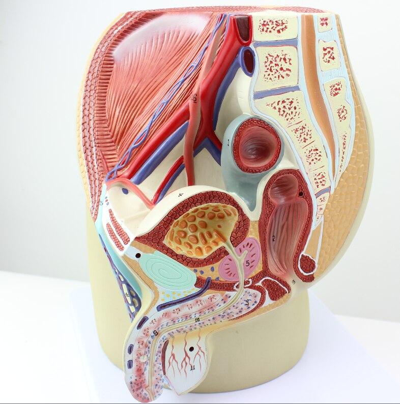 Männlichen urogenitalsystem becken anatomie modell Prostata ...